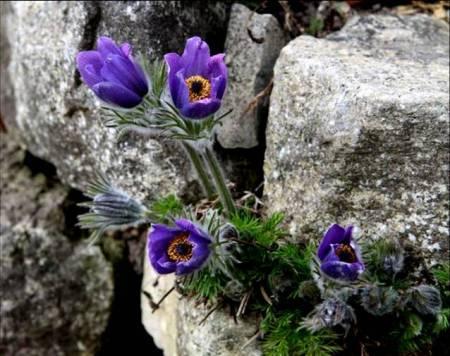 flores-moradas-roca