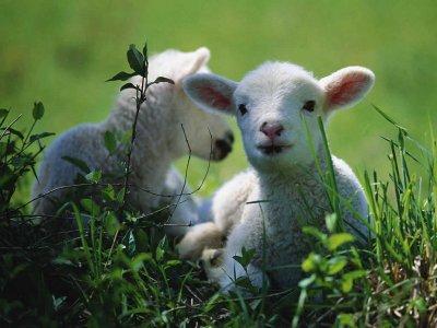 fondos-pantalla-ovejas