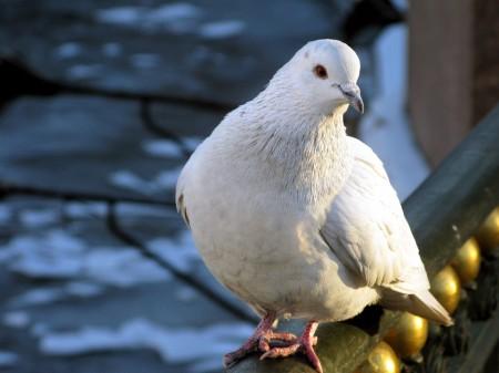 Paloma-blanca