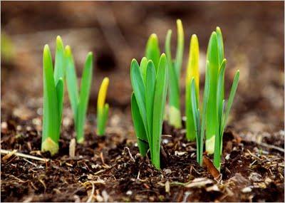 La semilla germina y va creciendo