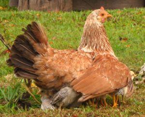 Como la clueca reúne a sus pollitos bajo las alas