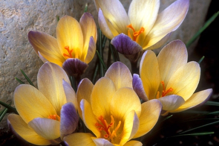 don_paulson_040209_32crocus_525