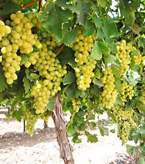 La vid y sus frutos: Cepa, sarmientos y racimos de uva.