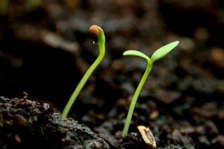 La semilla germina y crece