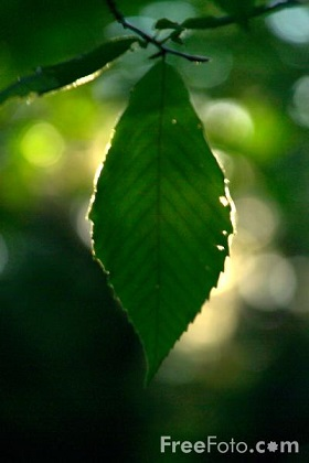 15_94_93---Leaves_webpeq