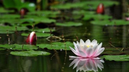 Hermosas-flores-de-lirios-de-agua-fondos-de-pantalla-fotos-497-peq