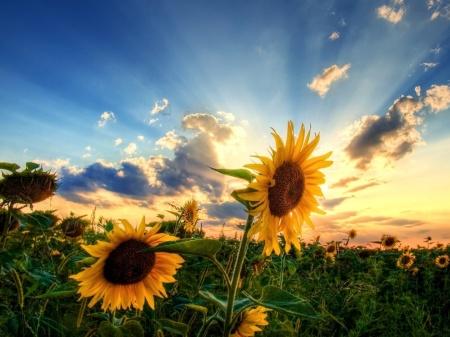 717182-1024x768-sunflower-field